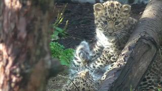 Rare Amur leopard cubs dazzle zoo spectators - Video