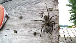 Gigantic dock spider enjoys being hand fed