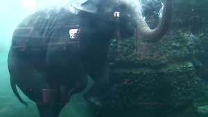 Elephant goes for a swim at the Zurich Zoo - Video