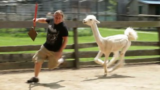 Angry Llama-Alpaca Hybrid Attacks Man - Video