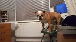 'Crybaby' bulldog won't jump off chair - Video