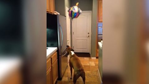Boxer Loves Boxing With Balloon
