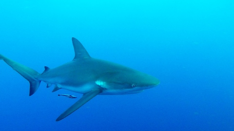 Scuba Divers In Danger When Large Sharks Circle Them