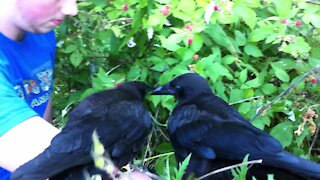 Rescued baby crows learn to eat ripe berries from the bush during rehab