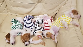 Puppies wearing pajamas take nap together - Video
