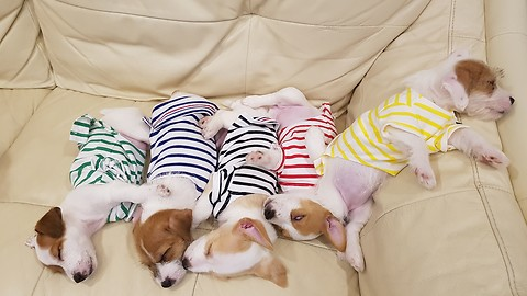 Puppies wearing pajamas take nap together