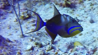 Tiny, furious reef fish chases away much larger Queen Triggerfish