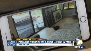 Pregnant woman spots bobcat lurking in yard - Video