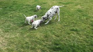 Dalmatian mother preciously plays with all her puppies - Video