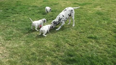 Dalmatian mother preciously plays with all her puppies
