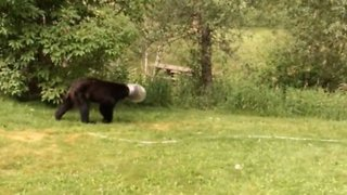 Bear in Colorado With Cheese Balls Jar Stuck on Head - Video