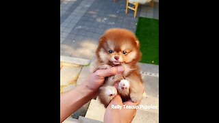 Teacup Pomeranian Has Gorgeous Chocolate Tan Coat