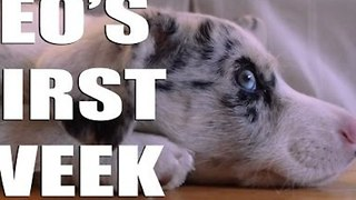 Dog Owner Documents Puppy's First Week in New Home - Video