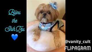 Beautiful Shih Tzu Gets Her Hair Braided - Video