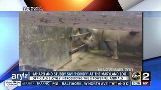 New rhino at Maryland Zoo meets a new friend - Video