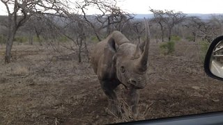 Angry rhino charges and hits safari car after being startled by a volunteer