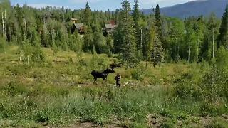Protective mother moose tries to attack dog walker