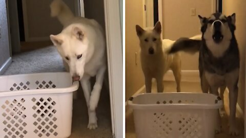 Laundry basket challenge yields opposite results for these two huskies