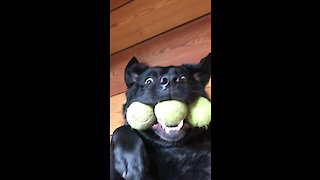 Hilarious pup holds perfroms 3 tennis ball trick
