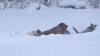 Dogs Frolic Together as Record-Level Snow Hits Erie, Pennsylvania - Video