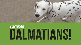 Compilation Of Dalmatians That Proves How Funny Dogs Can Be
