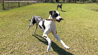 Funny Great Danes Love To Play Stick Tag Game
