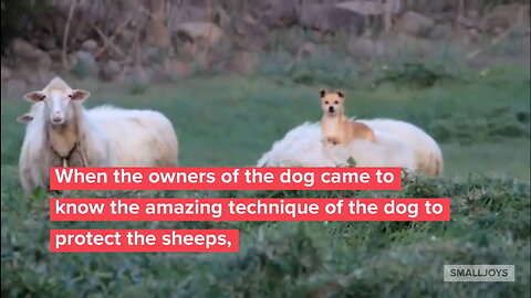 A Dog Guards A Sheep And Everyone Split Their Sides At His Innovative 'Method'