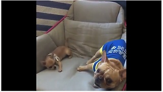 Bulldog and Chihuahua engage in epic play date - Video