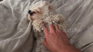 Dog enjoying owner's belly rub gets sat on by jealous pooch - Video