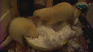 Rescued ferrets discover snow for the first time