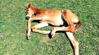 Sleepy young foal adorably stretches out to dream in the sunshine
