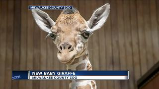 Milwaukee County Zoo welcomes new baby giraffe - Video