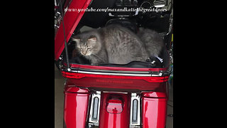 Maine Coon Cat Carrier by Fox Harley Davidson