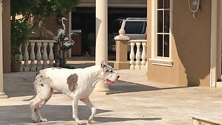 Happy Great Dane Enjoys a Stroll and a Swim  - Video