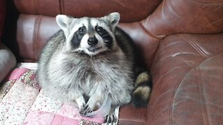 Raccoon finishes grapes, gives bowl back to owner for more