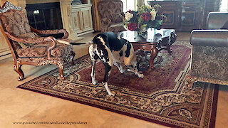 Funny Harlequin Great Dane's Slow Motion Pizza Slide
