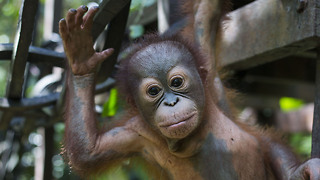 Baby Orangutan Learns To Climb After Being Shot: WILDEST ANIMAL RESCUES - Video