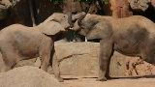 Elephants Empathetic Behavior - Video