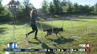 News blooper: Dog is unclear about how to run the obstacle course
