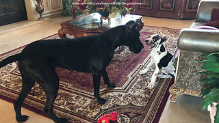 Great Dane & puppy play game of hide-and-seek