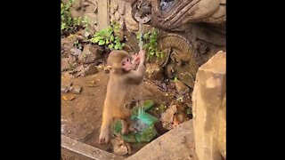Little monkeys play with water and wash their hands