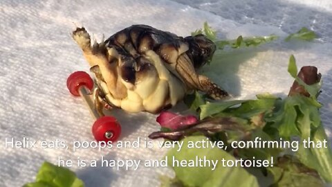 ADORABLE TINY TORTOISE WITH LEGS STICKING UP IN AIR GETS MINI SKATEBOARD WHEELS STUCK ON TO HELP HIM GET AROUND EASIER