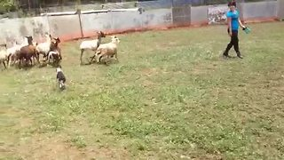 Nature Calls This Boston Terrier To Become A Sheep Herder - Video