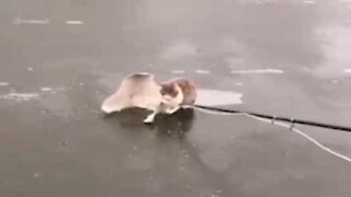 Cat rescued from frozen lake in Russia
