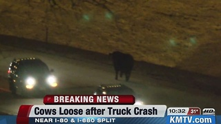 Cattle cause interstate accidents - Video