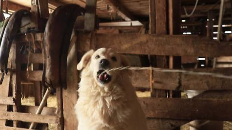 Livestock guard dog drinks fresh cow milk