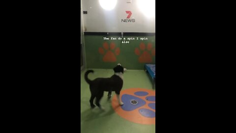 Goofy dog spins in circles while watching rotating fan