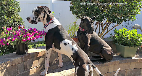 Visiting Cat and Great Danes Make Themselves Right At Home