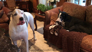 Great Dane Gets Jealous of Dog Sister Loving on Her Stuffed Toy