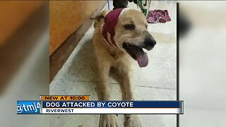 Riverwest woman says her dog was attacked by a coyote